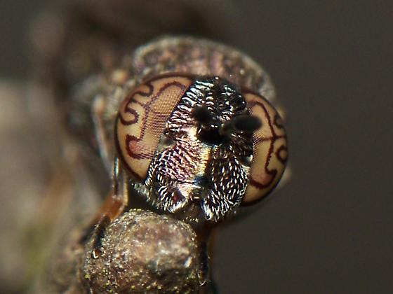 Jeepers, Creepers, Where'd You Get Those Peepers? - Orthonevra nitida - female