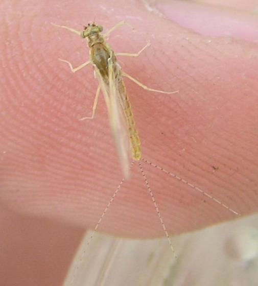 3-tailed mayfly (Imago) - Ephemerella - female