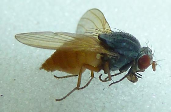Diptera - Minettia lupulina - female