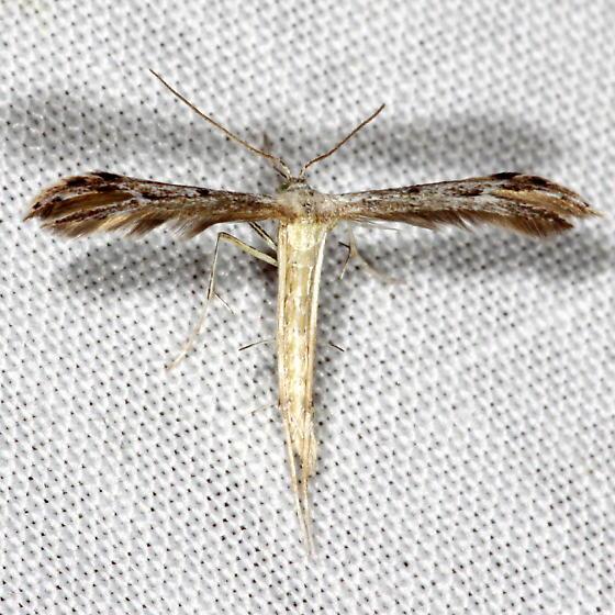 Unknown Micromoth - Pselnophorus belfragei