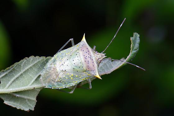 Unidentified stink bug - Arvelius albopunctatus