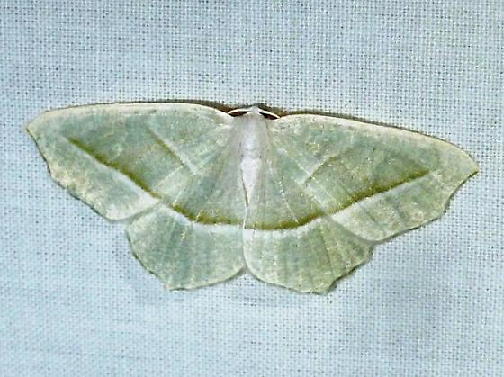 unknown AR moth #3 - Campaea perlata