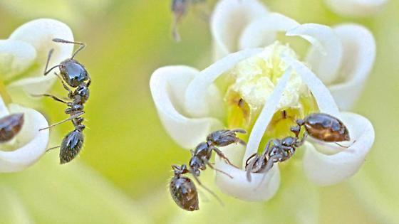 Ants on milkweed - Monomorium