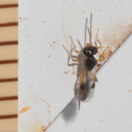 Tiny wasp Subfamily Tersilochinae - female