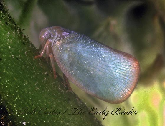 1275212 Flatid - Ormenoides venusta