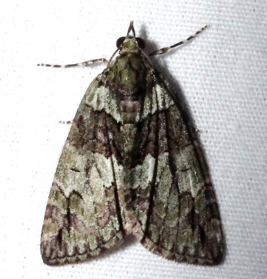 Which Carpet Moth? - Hydriomena bistriolata