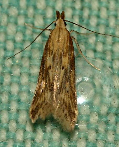 Twirler Moth - Metzneria lappella