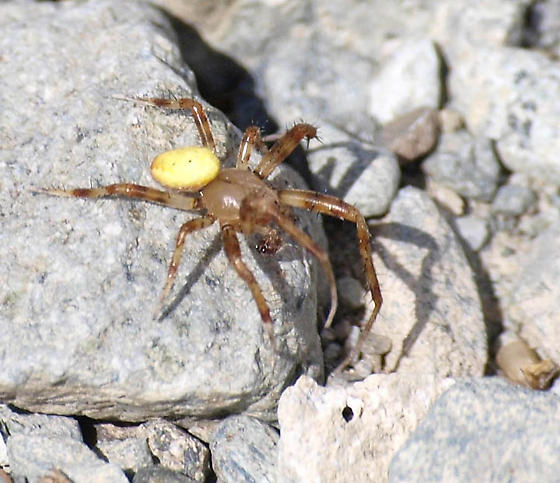 Yellow Butt Spider - Araneus trifolium