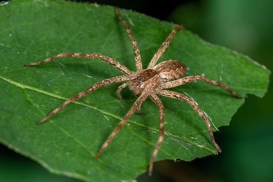 American nursery web spider? - Pisaurina mira