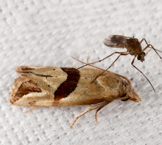 Broad-patch Carolella Moth  - Eugnosta sartana