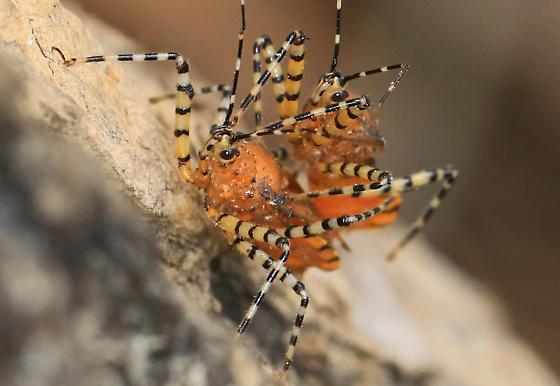 Orange Assassin Bug - (Pselliopus barberi ?) - Pselliopus - male - female