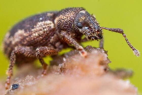 Beetle - Geodercodes latipennis