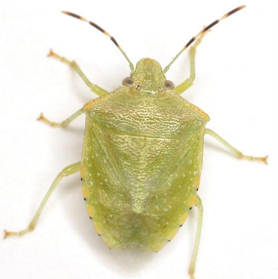 Thyanta maculata (Fabricius) - Thyanta maculata