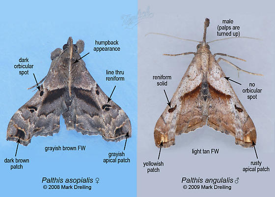 Differences between Palthis asopialis & Palthis angulalis - Palthis