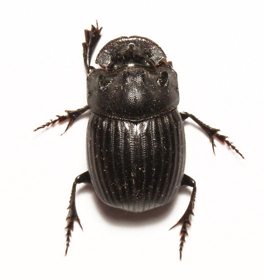 dung beetle, dorsal - Copris fricator - male
