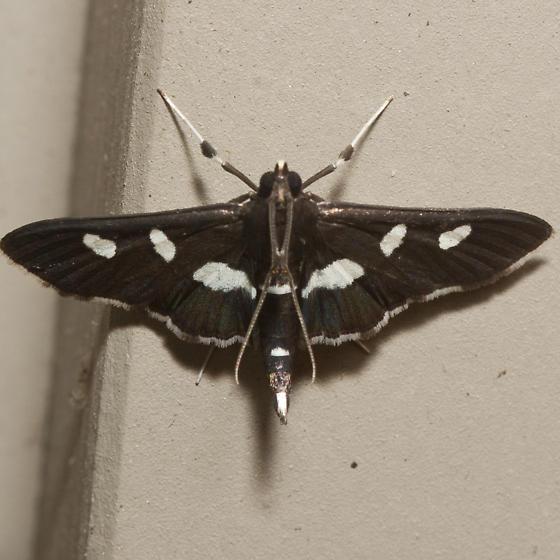 Grape Leaffolder Moth  - Hodges #5159 - Desmia - male
