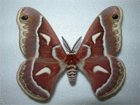Hyalophora gloveri (Sonoran group) - Hyalophora columbia - male