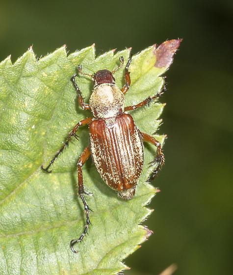 Rubbed beetle - Macrodactylus