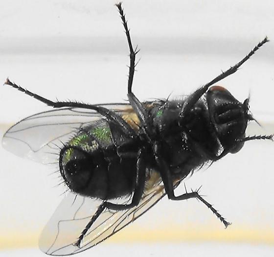 Shiny Green Monster (ventral) - Lucilia sericata - female