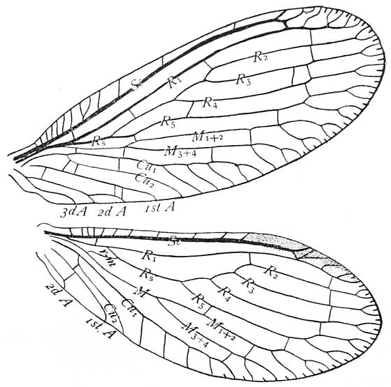 Wing venation of a Spongillafly - Sisyra