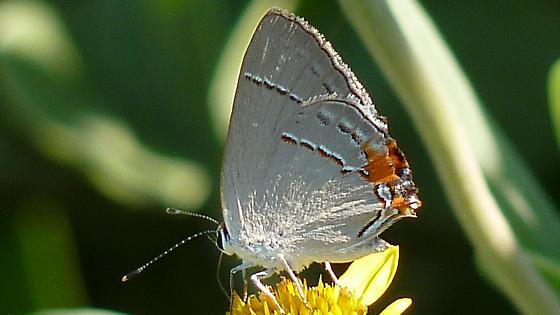 Hairstreak? - Strymon melinus - female