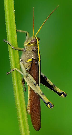 What type of grasshopper? - Schistocerca - male