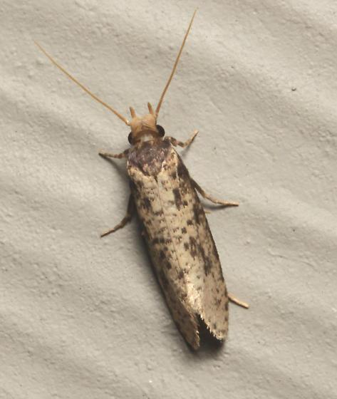 Tineidae, Burrowing Webworm Moth, dorsal - Amydria effrentella