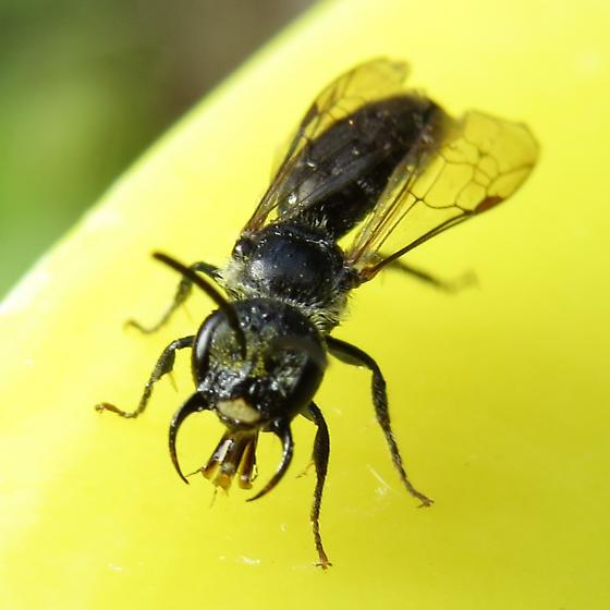 bee - Lasioglossum coriaceum