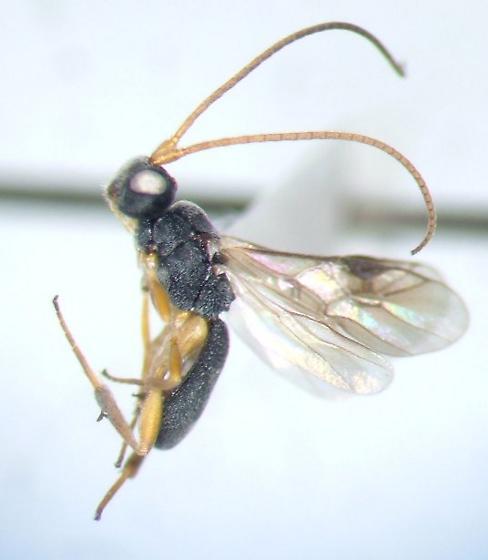 Ascogaster