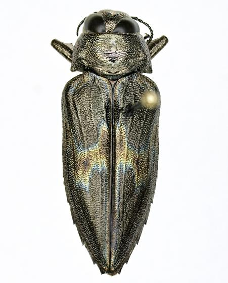 Actenodes calcarata