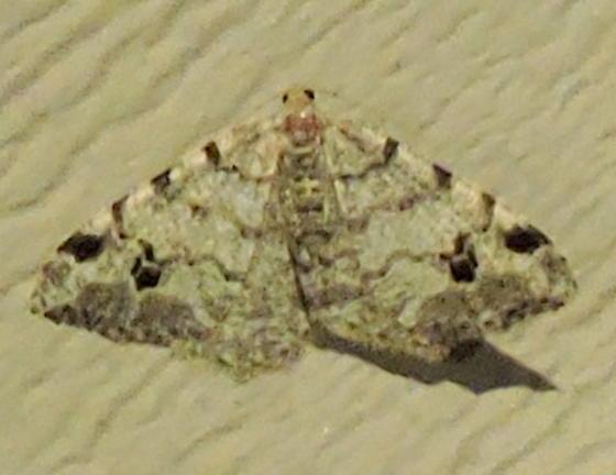Macaria pinistrobata - Macaria