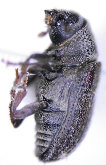 Pseudohylesinus nebulosus (LeConte) - Pseudohylesinus nebulosus