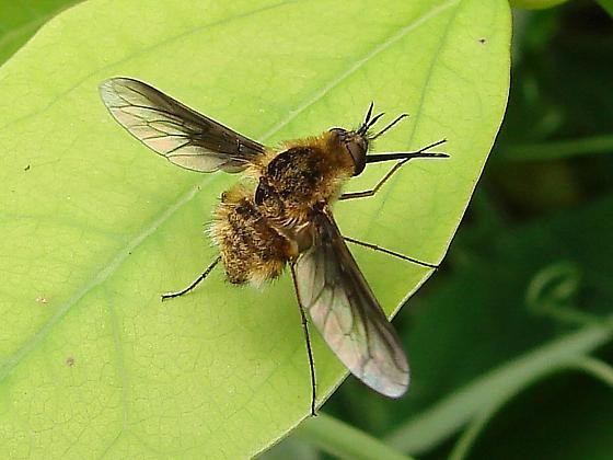 Bee Fly - Bombylius fulvibasoides - female