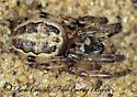 1113124 - Larinioides cornutus - female