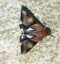 Erebidae - Melipotis fasciolaris
