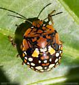 *Nezara viridula* Southern Green Stink Bug? - Chinavia marginata