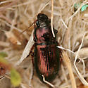 colorful ground beetle - Harpalus affinis