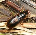 beetle - Acupalpus
