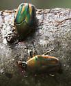 Two Green and Orange Beetles - Cotinis nitida