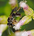 Bee ID - Lasioglossum fuscipenne - male