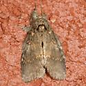 moth - Peridea angulosa