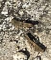 Grasshopper (Carolina or Crackling Forest) - Dissosteira carolina - male