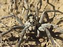Wolf Spider... - Hogna coloradensis