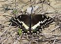 A Tiger Swallowtail?  - Papilio palamedes
