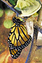 Danaus plexippus - Monarch  - Danaus plexippus