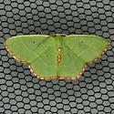 Red-bordered Emerald Moth - Hodges #7033 - Nemoria lixaria