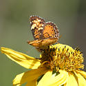 Northern Crescent - Phyciodes cocyta - female