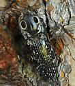 click beetle - Alaus oculatus