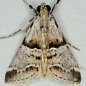 Watson's Tallula Moth - Tallula watsoni
