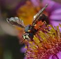 Thick-headed fly 7200-7205-7208 - Physocephala marginata - female